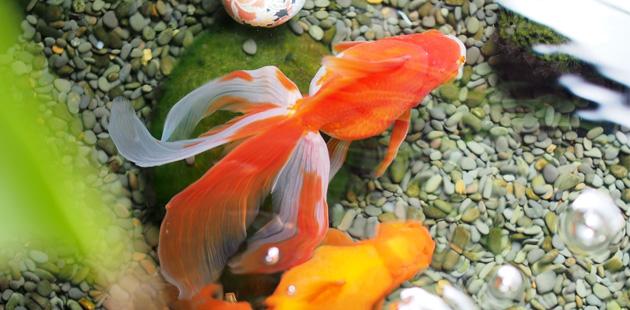 鈴家の金魚たち